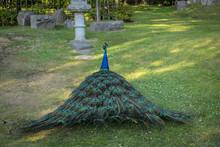 Peacock Walking Away In Holland Park
