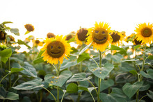 Close-up Of Smiling  Sunflower...