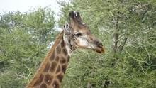Giraffe_kruger