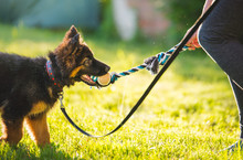 Young Cute Puppy Of German Shepherd Dog During A Puppy School Training With The Owner In The Park, In Beautiful Light