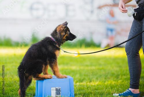 Slika na platnu German shepherd puppy during a training session in a puppy school