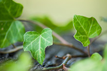 Closeup Of Ivy Leaves On Woode...