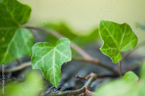 Fotomural closeup of ivy leaves on wooden background