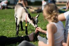 Baby Goat Yoga In Park