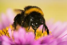Garden Bumblebee, Bumblebee, B...