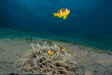 Clownfish in the Red Sea Co...