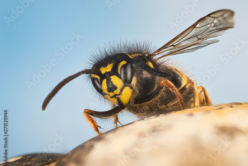 Valokuva  Common Wasp, Wasp, Vespula vulgaris