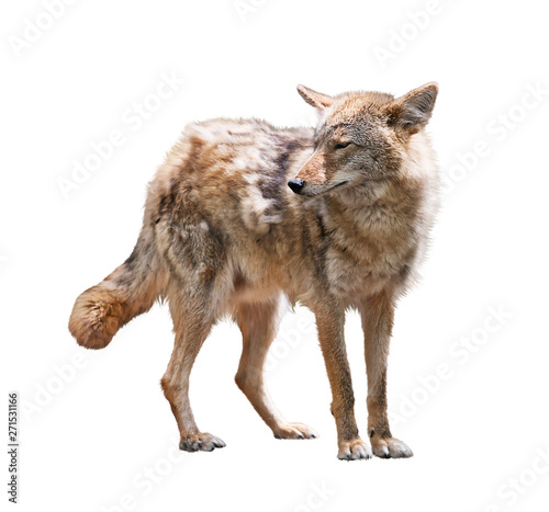 Foto Young coyote on white background