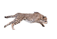 Cheetah Running ,Isolated On W...