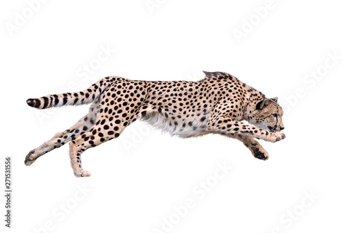 Obraz na plátně Cheetah Running ,Isolated on white Background