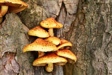 Polypore Mushroom On The Tree.