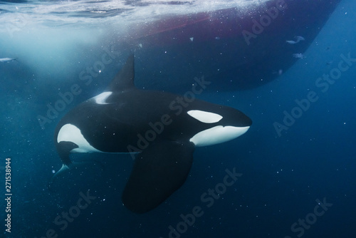 Fotografie, Obraz  Orca underwater in the Northern Norway
