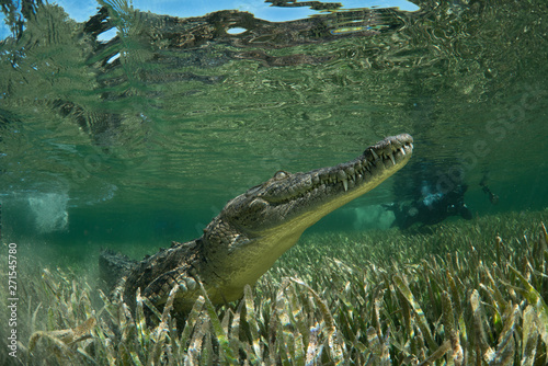 Photo sur Toile Crocodile American crocodile underwater in Jardines de la Reina National marine park, Cuba