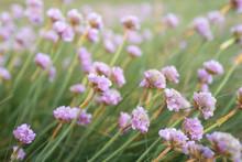 Photo Artistique De Fleurs Sauvages. Flore De Bretagne. Armeria Maritime Ou Armeria Maritima Willd