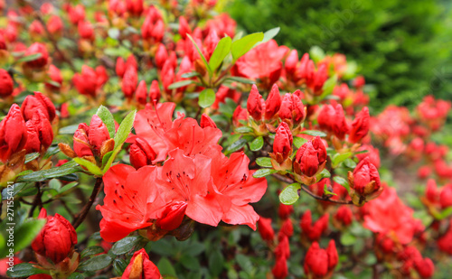 Blossom of red azalea flower in spring garden. Gardening concept. Floral background