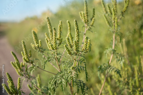 Photo The ripe branch of ambrosia with seeds grows on the edge of the field