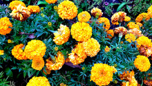 Tagetes Patula French Marigold In Bloom Beautiful