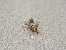 Wasp Dying On Sand Macro Close-up