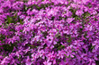 Leinwandbild Motiv Purple spring flowers texture background. Close-up