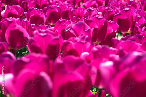 Poster Rose Purple flower tulips on the background of tulips. Tulip field. Growing flowers in spring. Close up tulip.