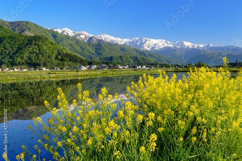 水田のあぜ道に咲く黄色い花と水鏡に白馬三山が写る