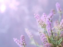 Purple Lavender Flower Background With Green Foliage And A Bright Purple Haze - Spring Time Flowers With Shallow Depth Of Field And Selective Focus With Copy Space