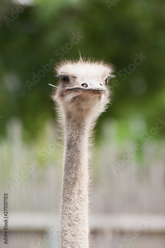 Wall Murals Ostrich Ostrich Bird Wildlife