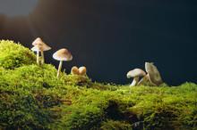 Mushrooms On Green Moss On Dark Background With Sun .