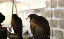 Wild Eagle Falconry