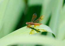 Eastern Amberwing Dragonfly Re...