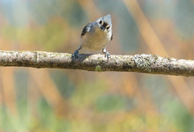 A Tufted Titmouse Bird Perched On A Branch Looking Forward With Colorful Background