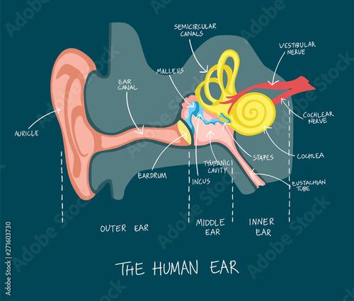 Hand drawn illustration of human ear anatomy. Wallpaper Mural