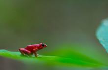 Red Frog, Oophaga Pumilio, Bas...