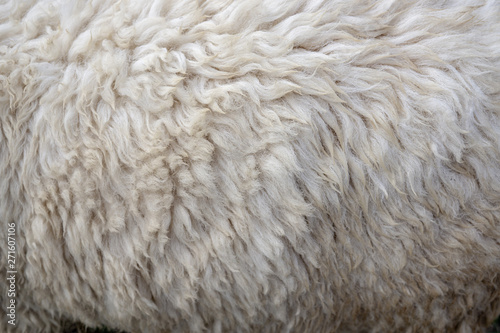 Papiers peints Sheep Wool sheep closeup for background ,Raw wool background. Also softness, warmness concept.