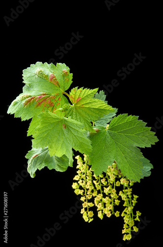 sick young currant branches on a dark background Canvas-taulu