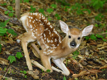 Day Old Tiny White Tailed Deer...
