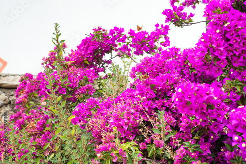 Leinwanddruck Bild - lyulkamazurkev : Pink Bougainvillea tree as a floral background . Magenta bougainvillea flowers.