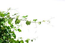 Ivy Plant Isolate On White Background