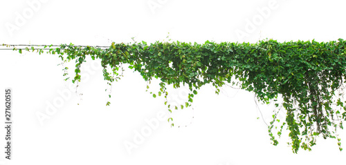 ivy plant isolate on white background Canvas Print