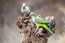 Parakeet,feeding On Seeds, Patagonia, Argentina