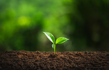 Young Plant Coffee Tree Rainy Season