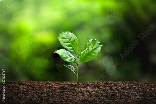 Fotomural  Young Plant Coffee tree rainy season