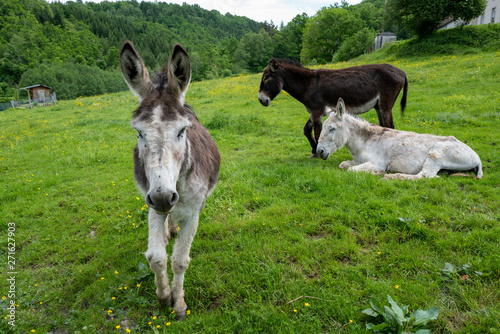 Photographie trois ânes dans un pré