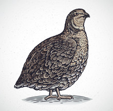 Graphical Image Of Quail In En...