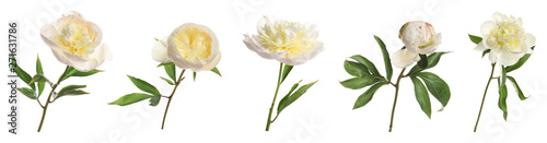 Fototapeta Set of beautiful peony flowers on white background. Banner design