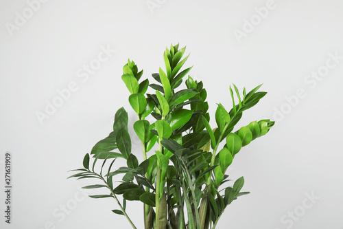 Foto auf AluDibond Sansibar Beautiful Zamioculcas home plant on grey background