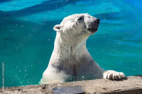 Spoed Fotobehang Ijsbeer Beautiful polar bear in the zoo, in the blue pool, in a spacious enclosure. A large mammal with fluffy fur and large paws. Life in captivity, good content, cool water.