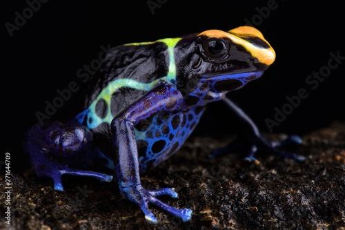 """Spoed Fotobehang Kikker """"Robertus"""" dart frog (Dendrobates tinctorius"""