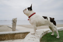 Cute French Bulldog Standing On Rough Stones Near Calm Sea On Moody Day