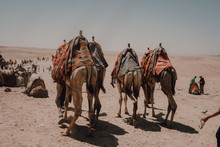 Cairo, Egypt - April, 12 2019: Arabs With Camels Walking In Desert Against Famous Great Pyramids And Gray Sky In Cairo, Egypt